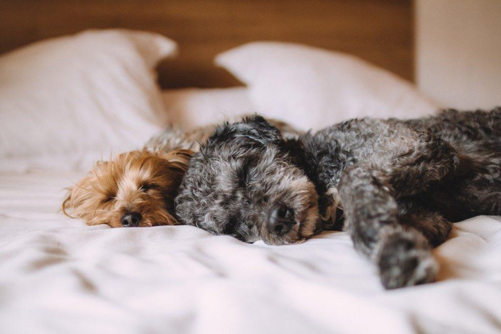bed, dog, animals